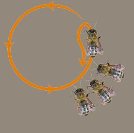 abeilles phéromones